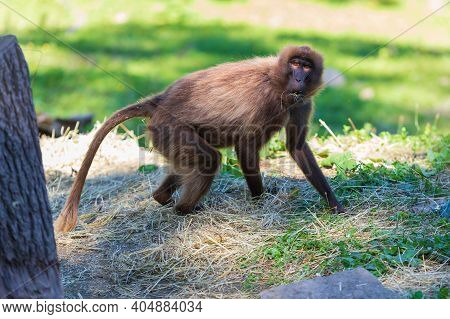 The Adult Gelada Baboon Monkey Stands On The Ground And Eats Dry Grass. The Background Is Green.
