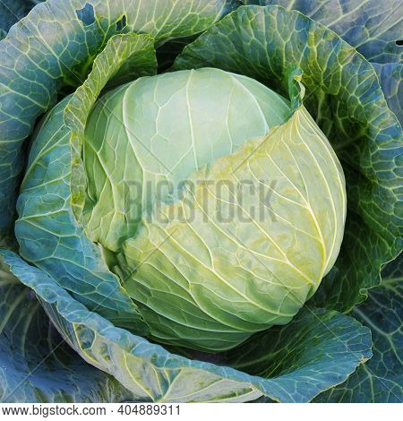 Ripe Head Of Cabbage. Agricultural Plant. Brassica Oleracea. Harvesting A New Crop. Fruits Of Autumn