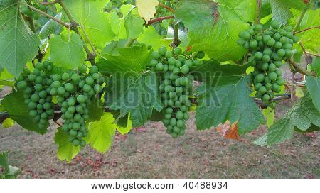 Green clusters of grapes on grapevine