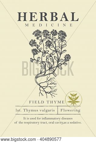 Botanical Illustration Of A Hand-drawn Field Thyme Plant In Retro Style. Vector Banner Or Label For