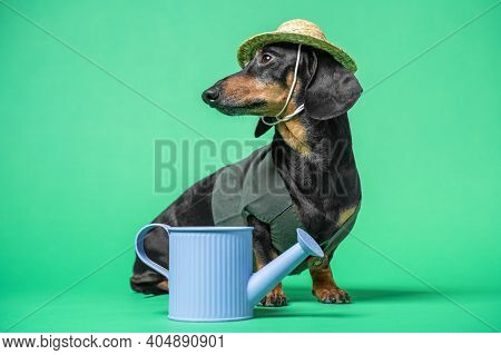 Cute Dachshund Dog In Straw Hat And Work Jacket Sits With Watering Can For Plant Care And Gardening,