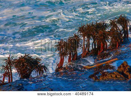 Sea Palms On Rocks In Surf Impact Zone