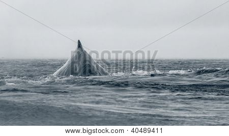 Frontal view of diving humpback whale taken in dense fog from kayak poster