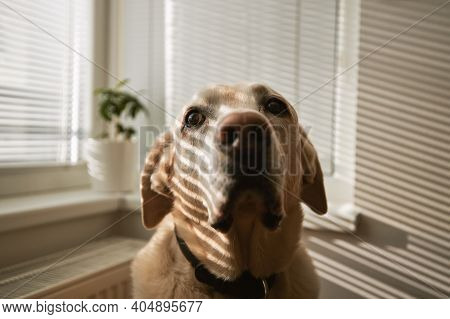 Shadow Falling On Cute Labrador Retriever At Home. Portrait Of Old Dog In Morning Light.