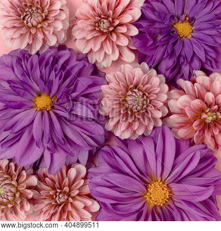 Pink And Purple Dahlia Flower Texture. Springtime Background. Floral Backdrop Concept.