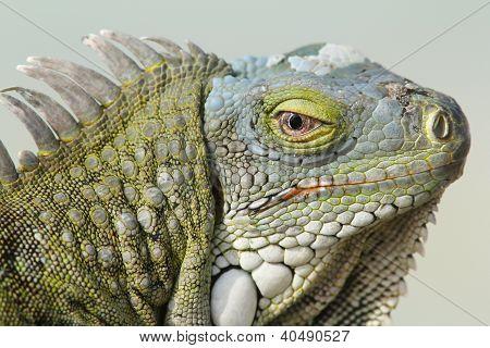 Closeup Of Greeen Iguana