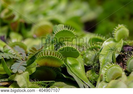 Venus Flytrap Or Dionaea Muscipula, A Carnivorous Plant From The Monotypic Genus Dionaeus Of The Dro