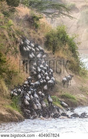 Wildebeest scramble up the banks of the Mara River, during the annual great migration. Masai Mara, Kenya. Vertical format.
