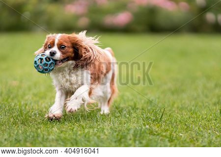 Cute Cavalier King Charles Spaniel Dog Playing With Toy Ball On Green Grass At Nature.
