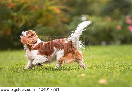 Young Young Cavalier King Charles Spaniel Dog Walking On Green Grass At Nature.