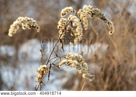 Dried Flowers With Black Seeds, Dry Grass In Winter
