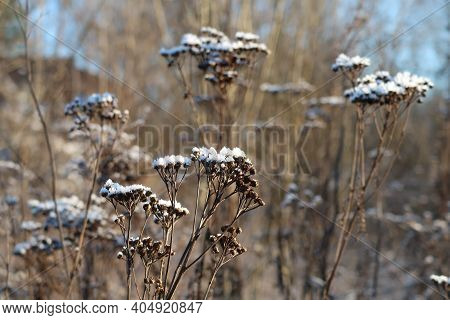 Dry Flowers Of Tansy A Little Sprinkled With Snow, Dried Flowers, Backgroubd