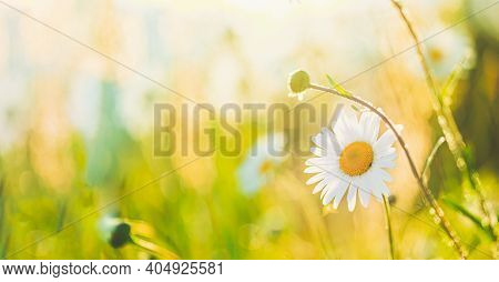 Blooming Wild Flower Matricaria Chamomilla, Matricaria Recutita, Chamomile. Commonly Known As Italia