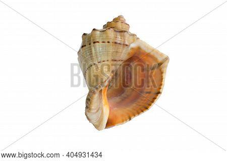Big Light Yellow Orange Gastropod Seashell Close-up On White Background