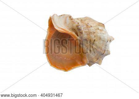 Marine Big Light Bright Yellow Orange Gastropod Seashell On White
