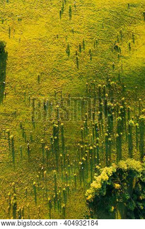 Aerial View Of Cattle Of Cows Grazing In Meadows Pasture. Summer Green Pasture Landscape. Top View.
