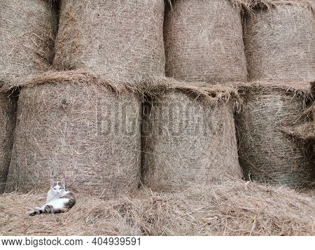Hay Twisted Into Rolls, Skirds In An Agricultural Barn. Theres A Cat In The Corner. Background Hay