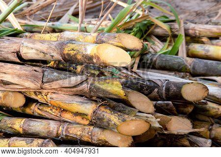 Sugar Cane Pile In Plantation Land, Sugarcane In Harvest Season, Sugarcane Fresh In Plant Field