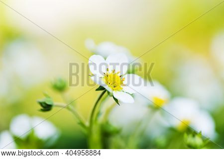 White Young Flowers Of Strawberry On Yellow Blurred Background.
