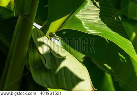 Green Mantis Or Mantis Religious Lat.mantis Religiosa Sits On The Green Leaf Of A Banana Palm.a Larg