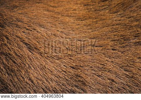 The Fur Of Wild Deer Is Rough And Stiff. The Fur Is Gray, Fawn, Light Yellow In Color, Not Showy.