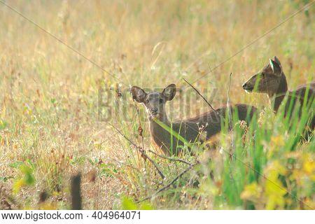 Hog Deer Foraging In Herds In The Pasture,