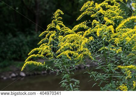 The Wild Flowers Of Solidago Canadensis Or Late Goldenrod. Selective Focus. State Flower Of The U.s.