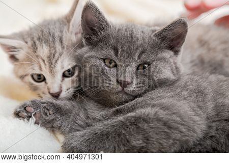 Couple Fluffy Kitten Portrait Relaxing On White Blanket. Little Baby Gray And Tabby Adorable Cat In