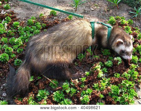 Ferret In The Garden