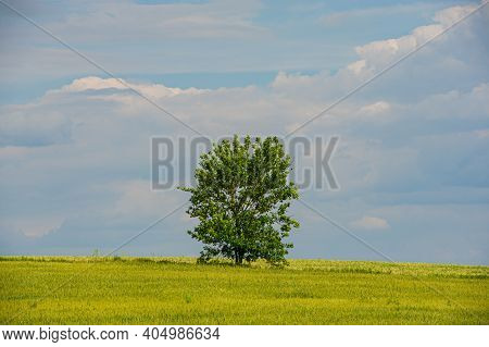 Single Tree In A Blooming Agricultural Field Against The Blue Sky. Spring Season. Ukraine. Europe.