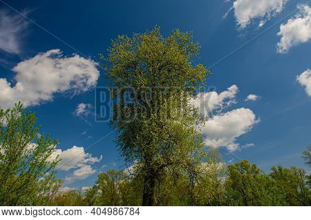 Deciduous Forest And Clouds On A Blue Sky On A Sunny Day. Spring Season.