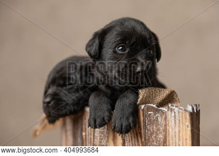 black little labrador retriever dogs looking away and resting in a wooden bed against gray background