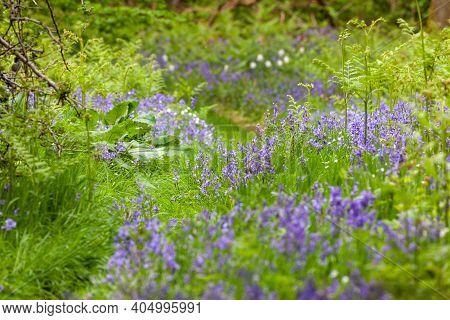 Wild Bluebells In Norfolk Forest In The Uk. Path Through Wild Purplebluebell Flowers In Spring