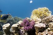 coral reef with hard and fire corals on the bottom of red sea - underwater photo poster