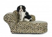 dog sitting on couch - cavalier king charles spaniel puppy sitting on dog couch isolated on white background poster