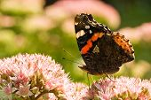 The Red Admiral is visiting Sedum Matrona poster