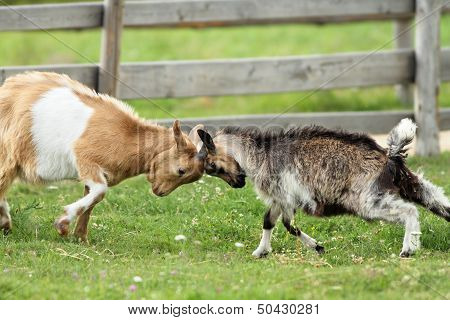 Goats Fighting With Their Heads