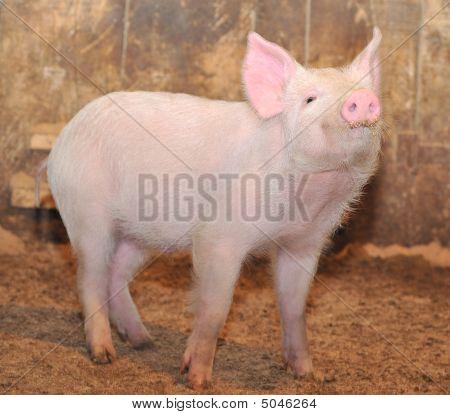 Little Pig