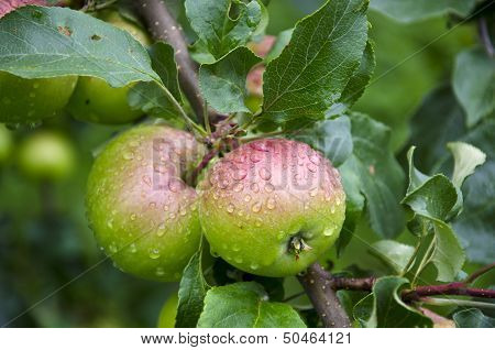 Two Dewy Fresh Apple On Tree Branch In Garden