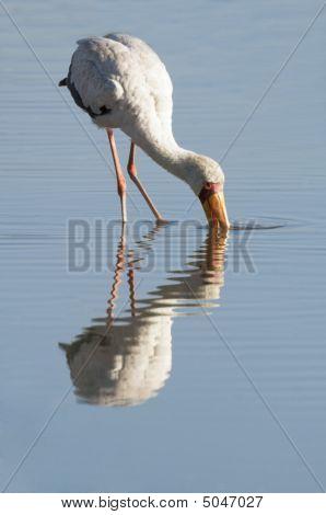 Yellow billed stork (Mycteria Ibis) feeding in lake poster