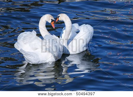 White swans mating.