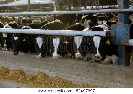 meat dairy breed cows on farm poster