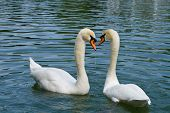 two swans in love swimming on lake poster