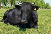 Black cow lying on the green meadow poster