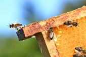 Plenty of bees eating honey on honeycomb poster