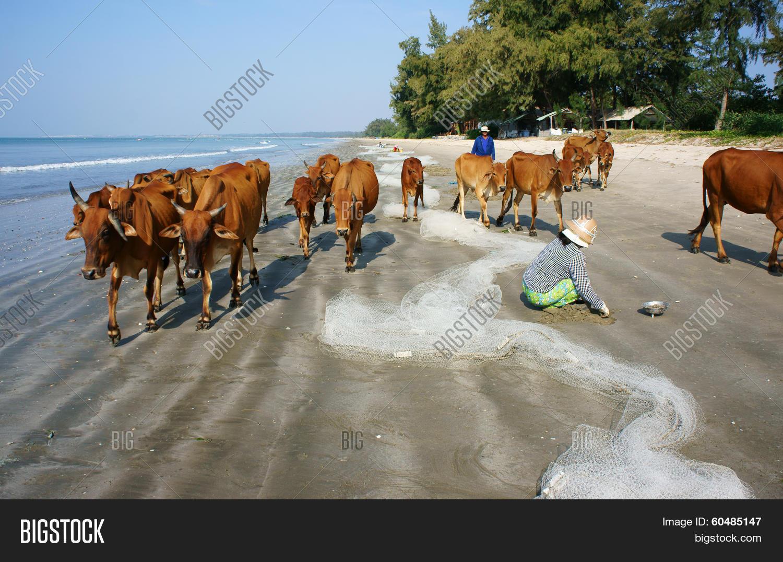 Funny Scene Herd Cow Image Photo Free Trial Bigstock