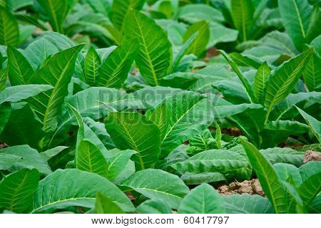 Close-up Green Tobacco Field In Thailand