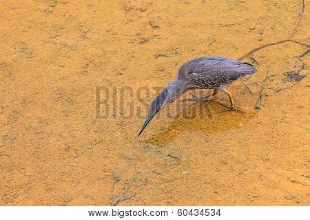 Heron Blue