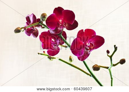 Red Moth Orchid Or Phalaenopsis Flowers