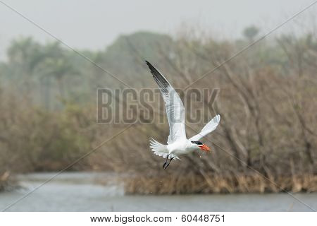 Caspian Tern Flying Through The Mangroves With A Fish